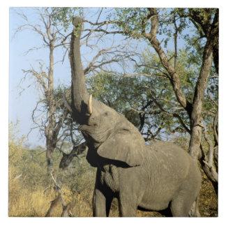 África, Botswana, delta de Okavango. Africano 2 Azulejo Cuadrado Grande