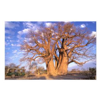 África, Botswana, delta de Okavango. Baobab Cojinete