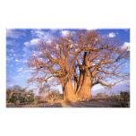 África, Botswana, delta de Okavango. Baobab Fotografías