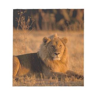 África, Botswana, delta de Okavango. León (Panther Blocs De Papel