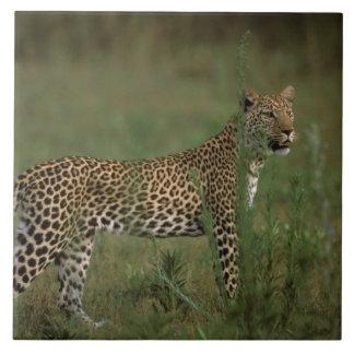 África, Botswana, delta de Okavango. Leopardo Azulejo Cuadrado Grande
