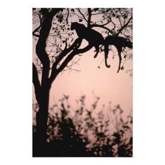 África, Botswana, delta de Okavango. Leopardo Cojinete