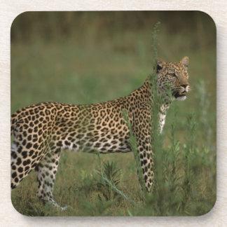 África, Botswana, delta de Okavango. Leopardo Posavasos De Bebida