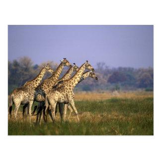 Africa, Botswana, Moremi Game Reserve, Herd of Postcard