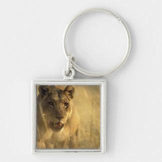 Africa, Botswana, Moremi Game Reserve, Lioness Keychain