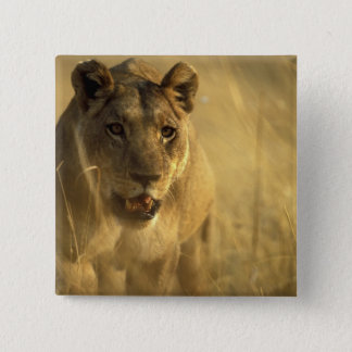 Africa, Botswana, Moremi Game Reserve, Lioness Pinback Button