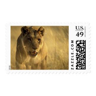 Africa, Botswana, Moremi Game Reserve, Lioness Postage Stamp