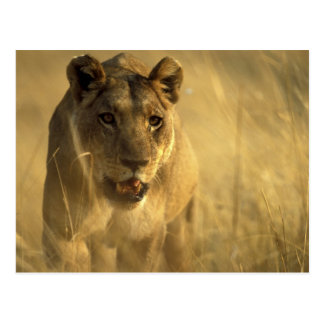 Africa, Botswana, Moremi Game Reserve, Lioness Postcard