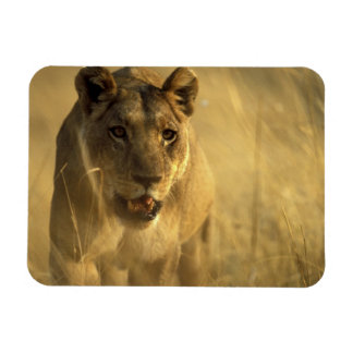 Africa, Botswana, Moremi Game Reserve, Lioness Rectangle Magnet