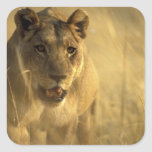 Africa, Botswana, Moremi Game Reserve, Lioness Square Stickers