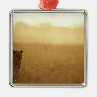 Africa, Botswana, Moremi Game Reserve, Male Lion Metal Ornament