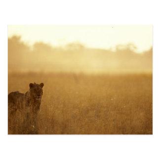 Africa, Botswana, Moremi Game Reserve, Male Lion Postcard