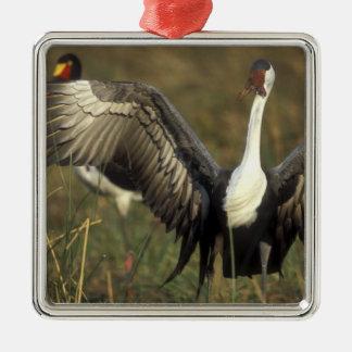 Africa. Botswana, Moremi Game Reserve, Wattled Ornaments