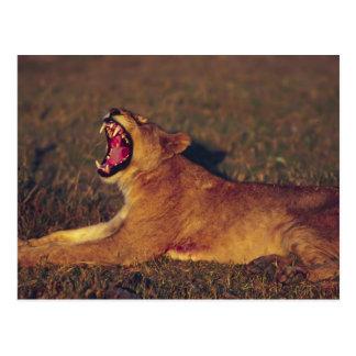 Africa,Botswana,Moremi Wildlife Reserve. Lioness Postcard