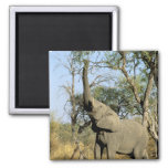 Africa, Botswana, Okavango Delta. African 2 2 Inch Square Magnet