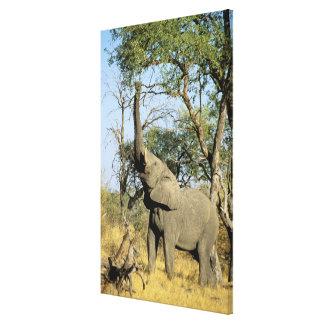 Africa, Botswana, Okavango Delta. African 2 Stretched Canvas Print