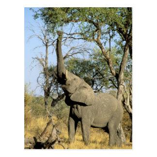 Africa, Botswana, Okavango Delta. African 2 Postcard