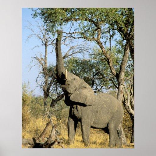 Africa, Botswana, Okavango Delta. African 2 Poster