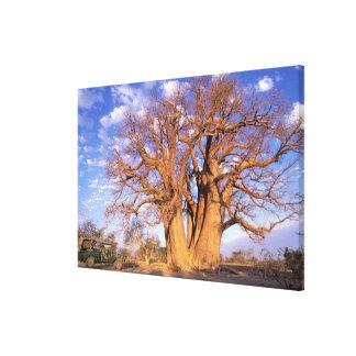 Africa, Botswana, Okavango Delta. Baobab Stretched Canvas Print