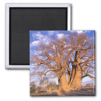 Africa, Botswana, Okavango Delta. Baobab Magnet