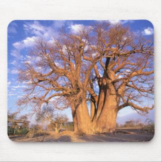 Africa, Botswana, Okavango Delta. Baobab Mouse Pad
