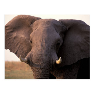 Africa, Botswana, Okavango Delta. Elephant Postcard