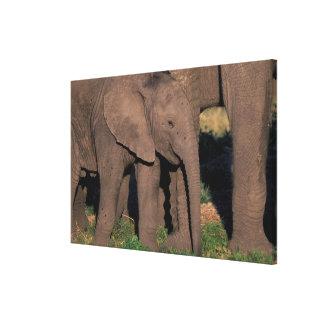 Africa, Botswana, Okavango Delta. Elephants Gallery Wrap Canvas