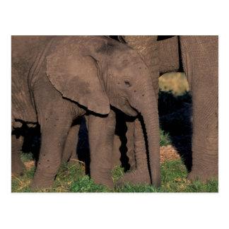 Africa, Botswana, Okavango Delta. Elephants Postcard