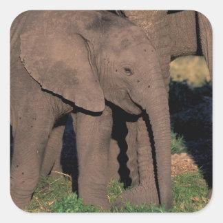 Africa, Botswana, Okavango Delta. Elephants Square Sticker