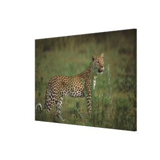 Africa, Botswana, Okavango Delta. Leopard Stretched Canvas Prints