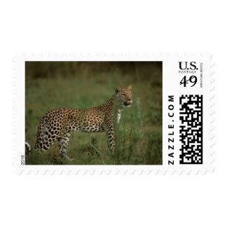 Africa, Botswana, Okavango Delta. Leopard Postage