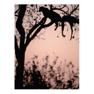 Africa, Botswana, Okavango Delta. Leopard Postcard