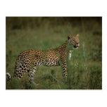Africa, Botswana, Okavango Delta. Leopard Post Cards