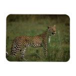 Africa, Botswana, Okavango Delta. Leopard Flexible Magnets