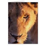 Africa, Botswana, Okavango Delta. Lion close Card