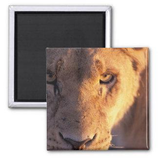 Africa, Botswana, Okavango Delta. Lion close Magnet