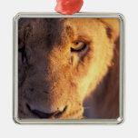 Africa, Botswana, Okavango Delta. Lion close Metal Ornament