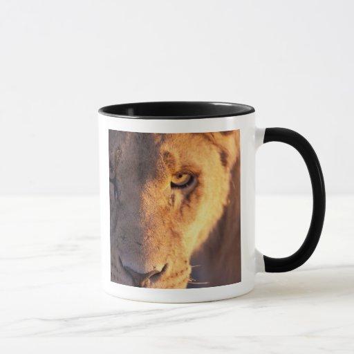 Africa, Botswana, Okavango Delta. Lion close Mug