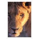 Africa, Botswana, Okavango Delta. Lion close Photo Print