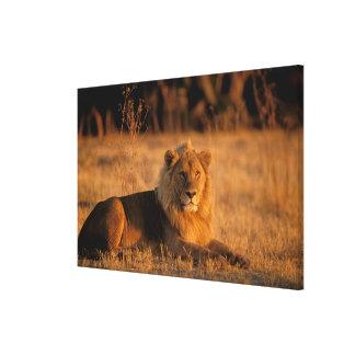 Africa, Botswana, Okavango Delta. Lion (Panthera Canvas Print