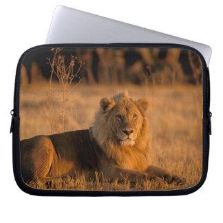 Africa, Botswana, Okavango Delta. Lion (Panthera Computer Sleeve