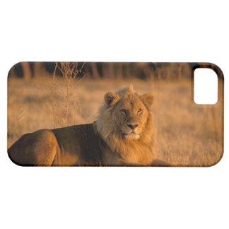 Africa, Botswana, Okavango Delta. Lion (Panthera iPhone SE/5/5s Case