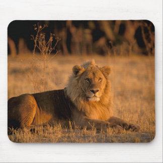 Africa, Botswana, Okavango Delta. Lion (Panthera Mouse Pad