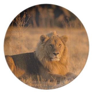 Africa, Botswana, Okavango Delta. Lion (Panthera Plate
