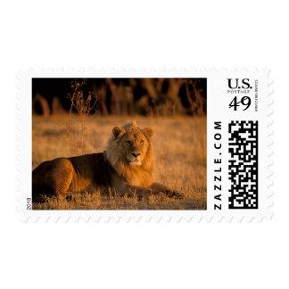 Africa, Botswana, Okavango Delta. Lion (Panthera Stamp
