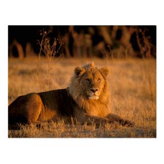 Africa, Botswana, Okavango Delta. Lion (Panthera Postcard