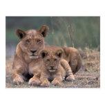 Africa, Botswana, Okavango Delta. Lions Postcard
