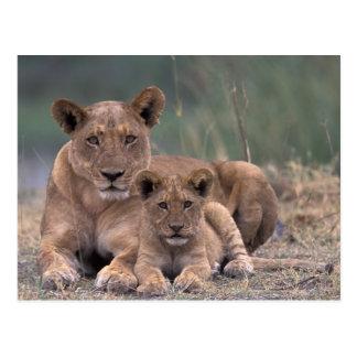 Africa, Botswana, Okavango Delta. Lions Post Cards