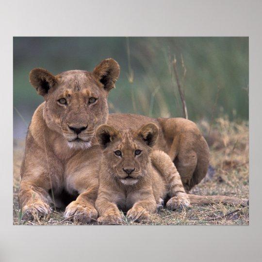 Africa, Botswana, Okavango Delta. Lions Poster