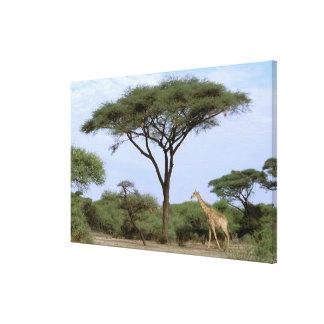Africa, Botswana, Okavango Delta. Southern Gallery Wrap Canvas